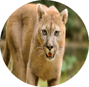mountain-lion-oval.png